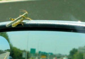 Grasshopper Crop
